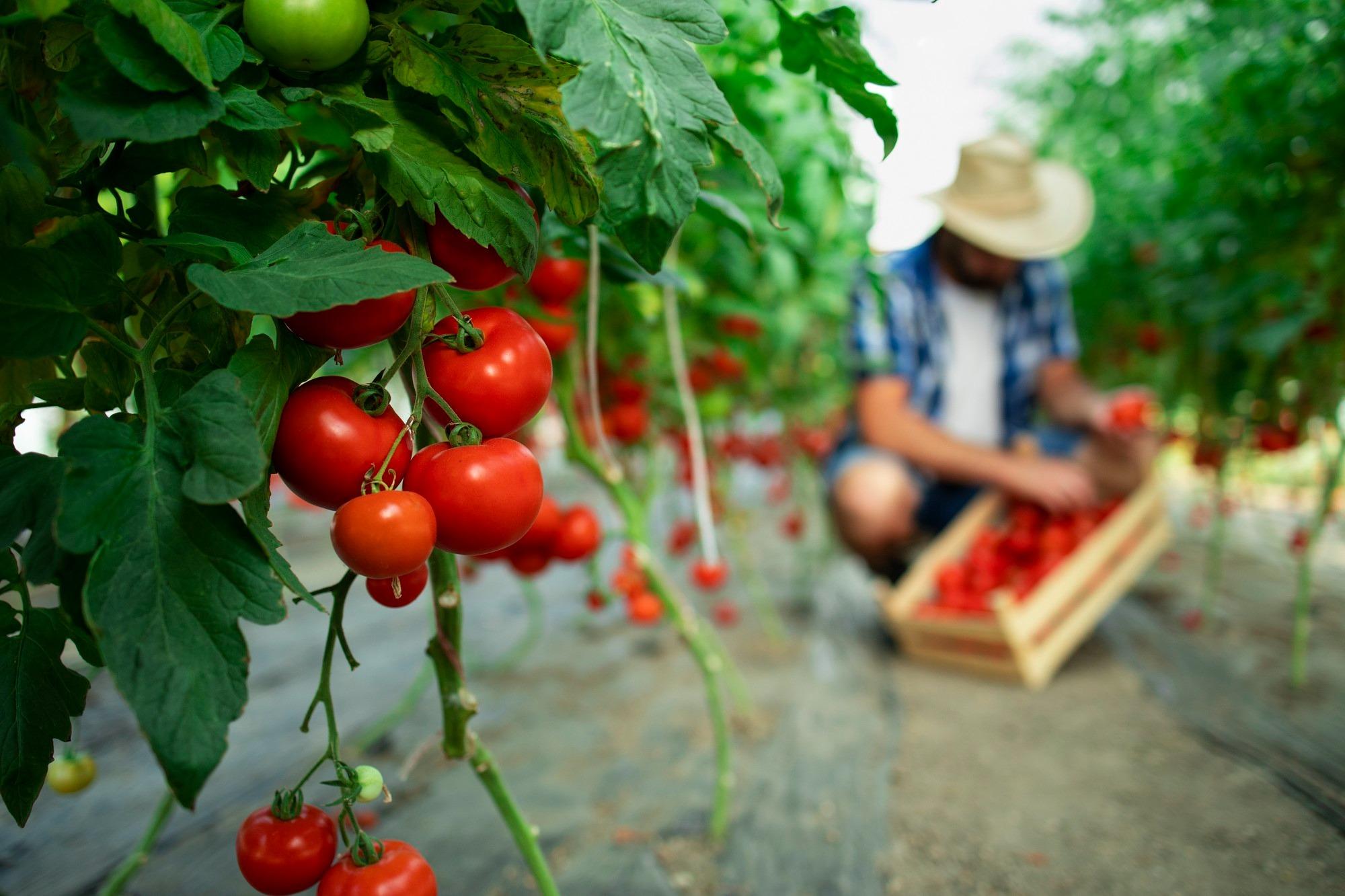 Imagem de um homem colhendo comida orgânica