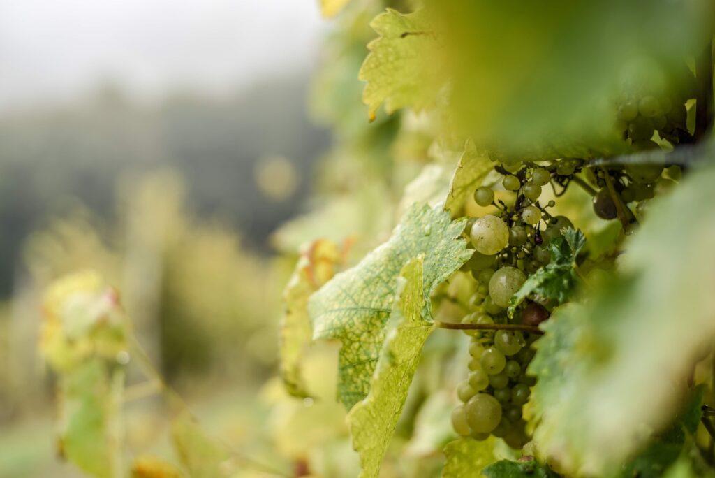 parreira de uvas verdes para representar petiscos para acompanhar vinho verde
