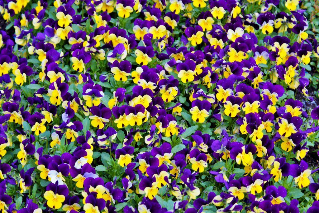 Flores do tipo amor-perfeito nas cores roxas e amarelas