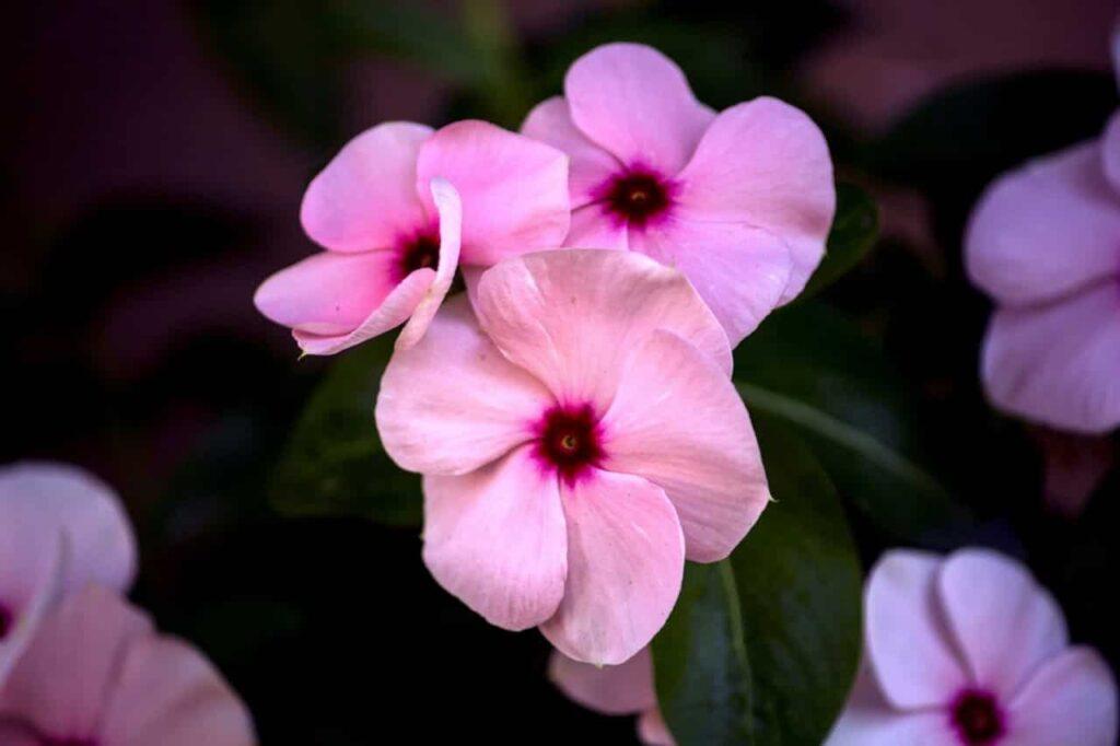 Flor do tipo Beijo Pintado na cor rosa