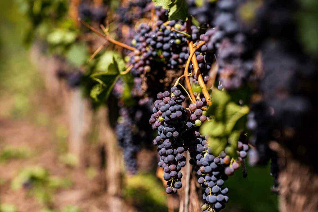 uvas em um vinhedo mostrando diferença ente vinhos