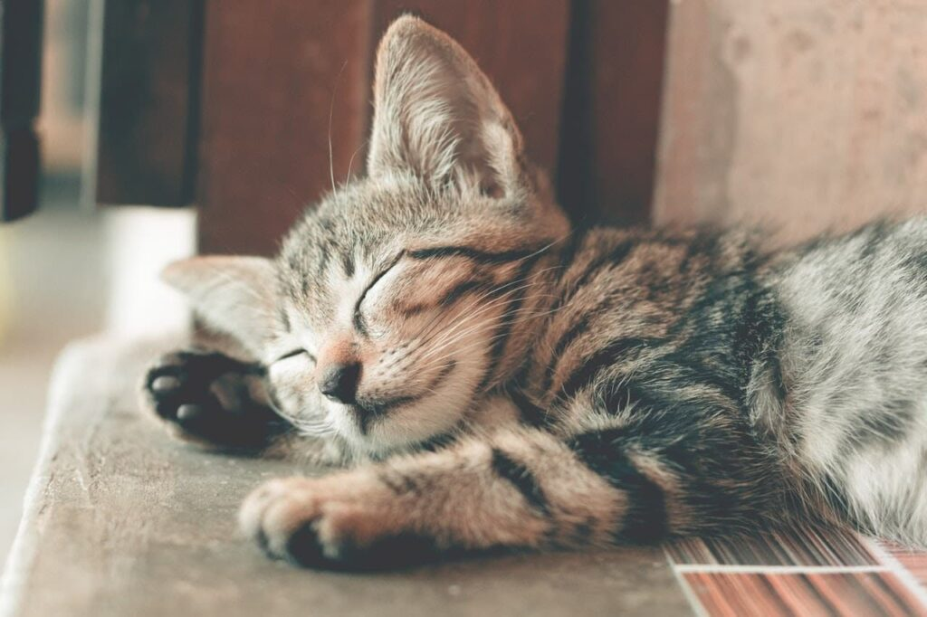 filhote de gato dormindo