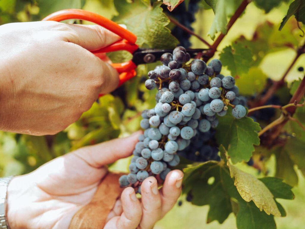 cacho de uva em uma videira